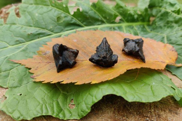 Peldošā ezerrieksta fosīlā forma